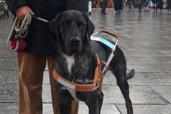Major, le chien guide d'aveugle disparu à Lourdes a été retrouvé à Julos
