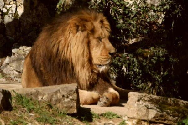 Le lion Hélios a quitté la Citadelle de Besançon.