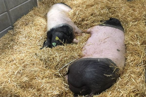 Porc basque au salon de l'agriculture
