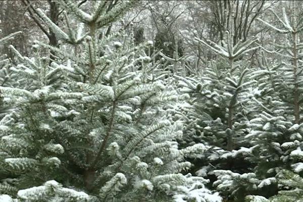 Sapins sous la neige, dans une forêt de la Creuse.