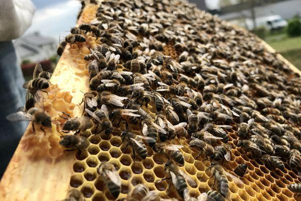 Les abeilles de Mellona butinent dans un environnement péri-urbain