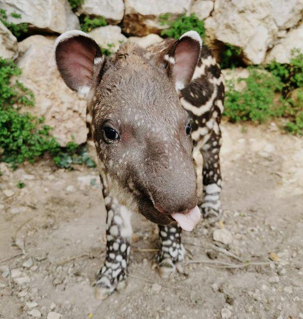 Un jeune tapir tire la langue à Lucas Pastor, son soigneur au zoo de la Barben (13)