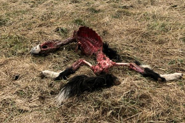 Le cadavre du chien a été retrouvé près des maisons