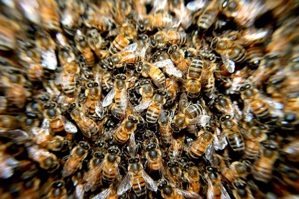 Un essaim d'abeilles (illustration).