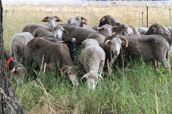 Débroussaillages de parcs et jardins par des moutons à Avignon.