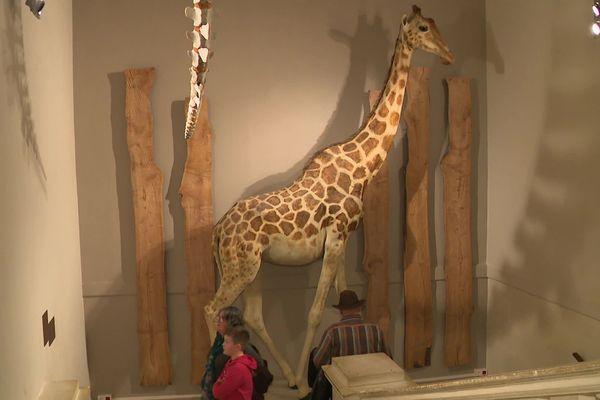 Zarafa la Girafe est la vedette du muséum d'Histoire Naturelle de La Rochelle.