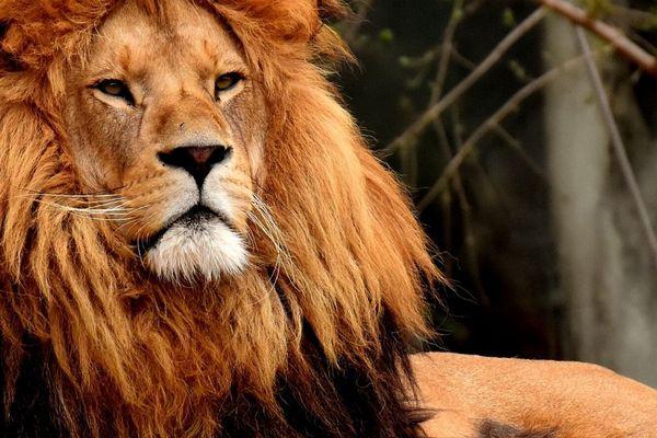 Le Lion Simba a été confié à l'association Tonga Terre d'Accueil. (Photo d'illustration)