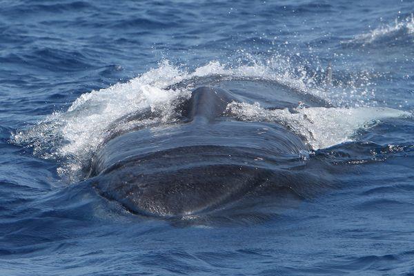 Un rorqual commun d'environ 17 m de long au large de la Corse