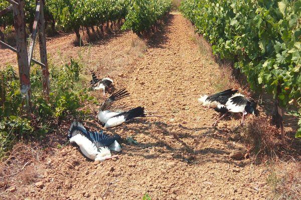 Villeveyrac - Les cigognes blanches qui ont péri sur la commune de Villeveyrac - août 2019