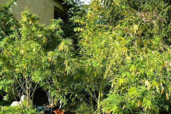 """Saisie de plants de cannabis """"d'une hauteur impressionnante"""" par la gendarmerie de Dordogne"""