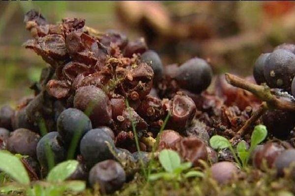 Le nouveau fléau de la vigne alsacienne
