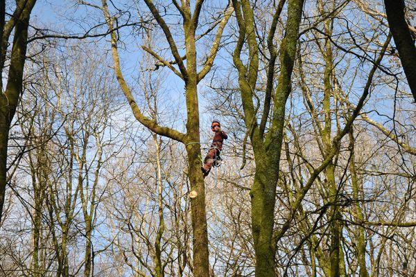 Avant procéder à l'abattage du chêne, un élagueur réalise l'éhoupage de l'arbre c'est à dire la coupe de branches et de sa tête