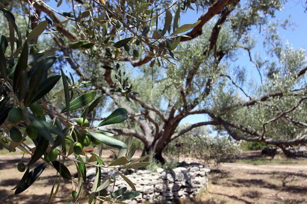 Une plantation d'oliviers à Bonifacio en Corse (juillet 2015)