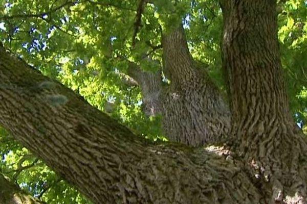 Le chêne pédonculé de Lacanche en Côte d'Or planté au 19ème siecle