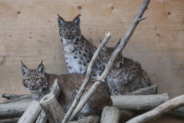 Capturés à l'automne 2019 dans le massif du Jura, les jeunes lynx ont bénéficié d'un long programme de soins au centre Athénas de l'Etoile (39).