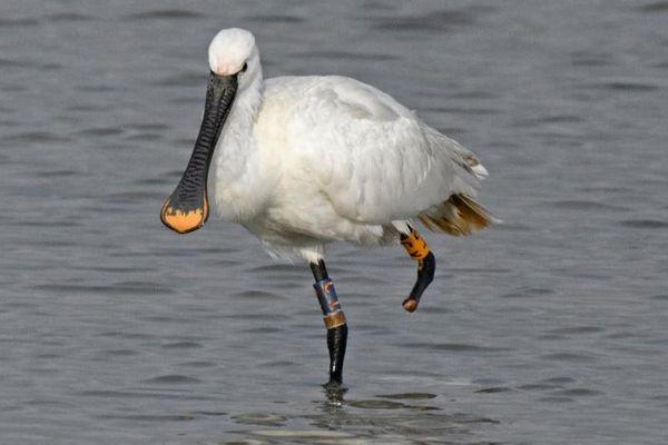 A vos jumelles pour aider le suivi des oiseaux migrateurs