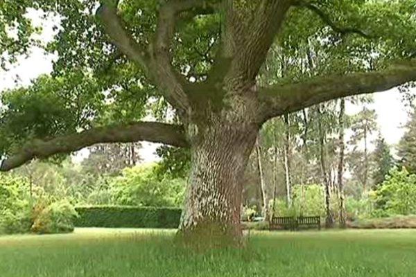 Le grand chêne de plus de 200 ans occupe une large clairière