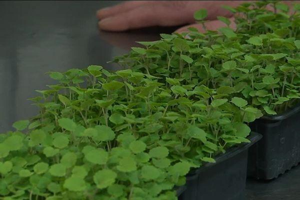 Les pousses gourmandes ont déjà 18 variétés de micro-pousses et de mini légumes dans leur catalogue de production.
