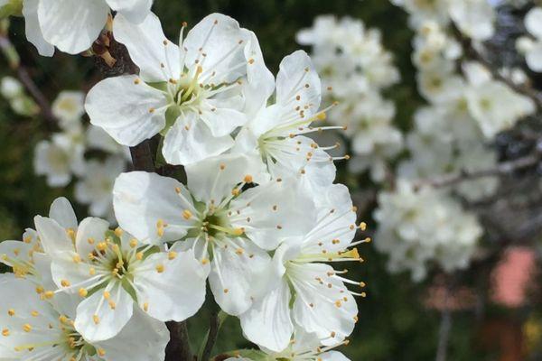 A Fougerolles, les cerisiers sont en fleurs mais les paysans craignent le gel.