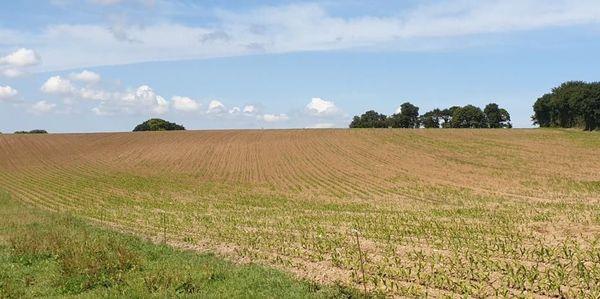 Parcelle de maïs clairsemée suite au passage des choucas