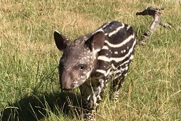 Fiona femelle tapir née au zoo d'Amnéville le 29 juin 2019