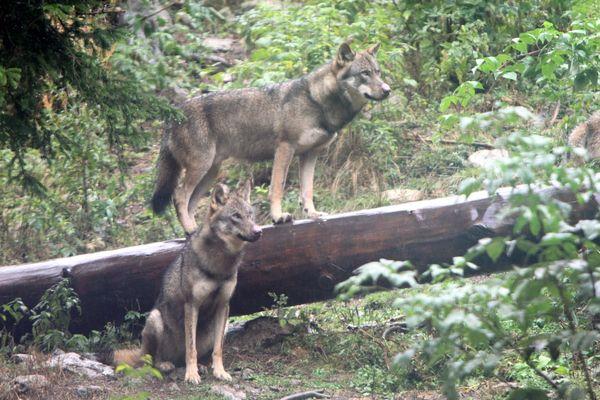 Un troupeau de moutons a été attaqué deux fois à Châtelblanc (Doubs) et l'hypothèse du loup est fortement privilégiée.