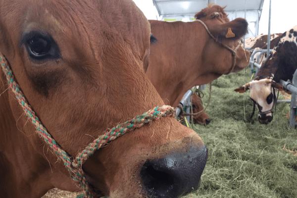 Le Sommet de l'élevage 2017 ouvre ses portes mercredi 4 octobre au parc des expositions de la Grande Halle d'Auvergne, dans le Puy-de-Dôme. Pendant 3 jours, 2.000 animaux sont présentés aux professionnels.
