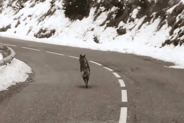 Le loup a couru sur la route avant de disparaître dans les bois.