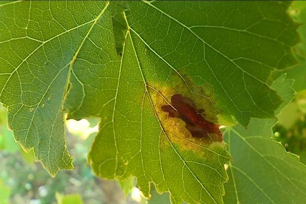 Le mildiou de la vigne s'attaque d'abord aux feuilles (image d'archives)