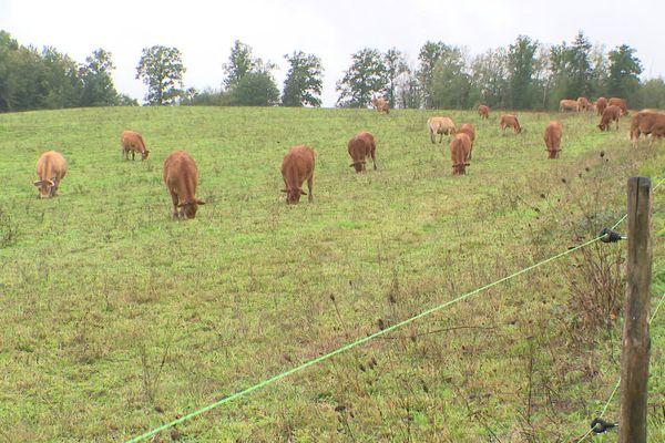 Ces vaches seront bientôt remplacées par un champ de panneaux photovoltaïques