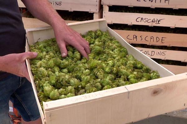 Le houblon Chinook, cultivé à Arelaune-en-Seine développe des saveurs de pamplemousse pour les IPA