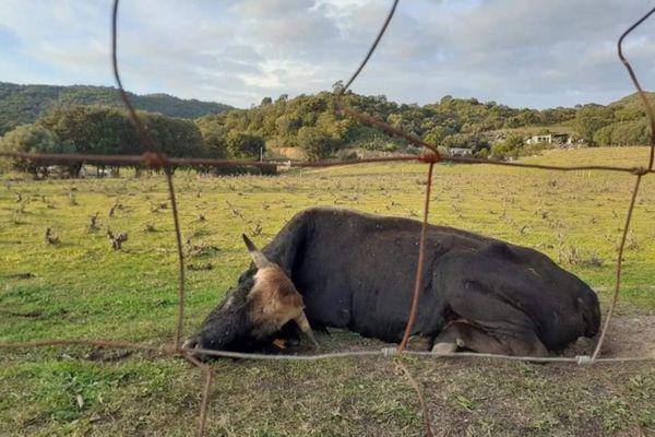 Jojo, un taureau de 5 ans a été retrouvé mort mercredi. Son oreille avait été sectionnée. Le grillage pour accéder au champ a été coupé.
