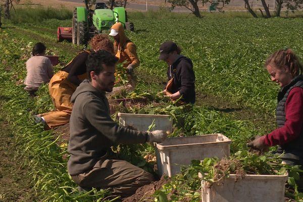 La récolte de la bonnotte dure deux semaines sur l'Île de Noirmoutier