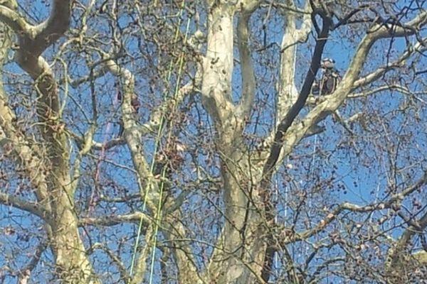 Intervention exceptionnelle de botanistes-grimpeurs pour nettoyer un arbre classé remarquable.