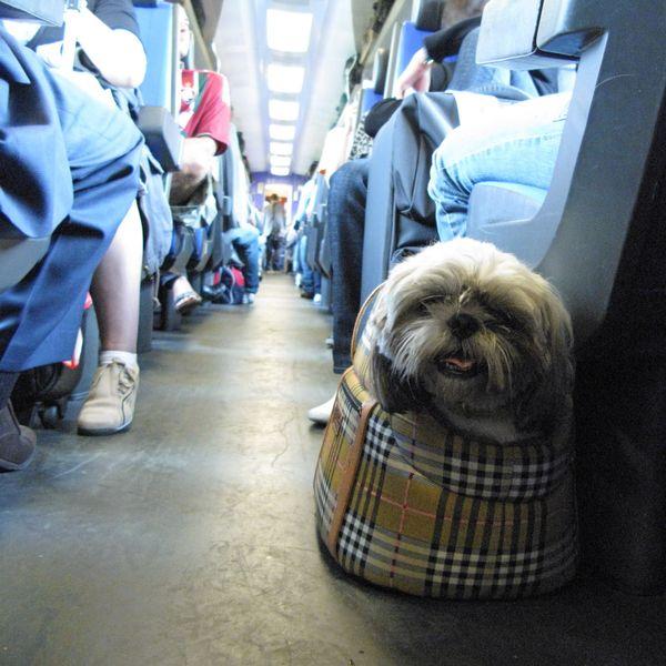 Les petits chiens peuvent être transportés dans les trains dans un sac de voyage sur vos genoux ou à vos pieds.