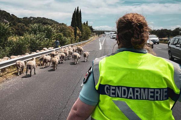 L'histoire des moutons sur l'autoroute sera racontée à la famille et sur internet