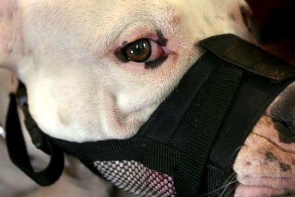 La victime a été attaquée par six chiens de type dogue argentin (illustration).