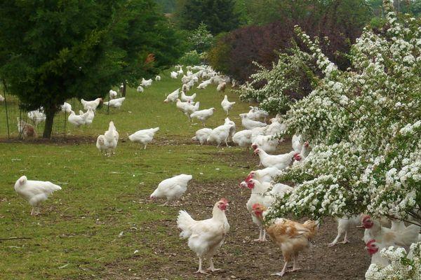 Les volailles de la Ferme du Moulin gambadent en plein air.