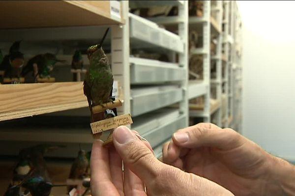 La collection de colibris dans les réserves du musée des confluences