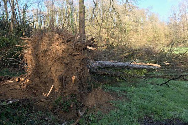 Des arbres parfois centenaires ont été déracinés dans une forêt de la commune d'Ardin dans les Deux-Sèvres.