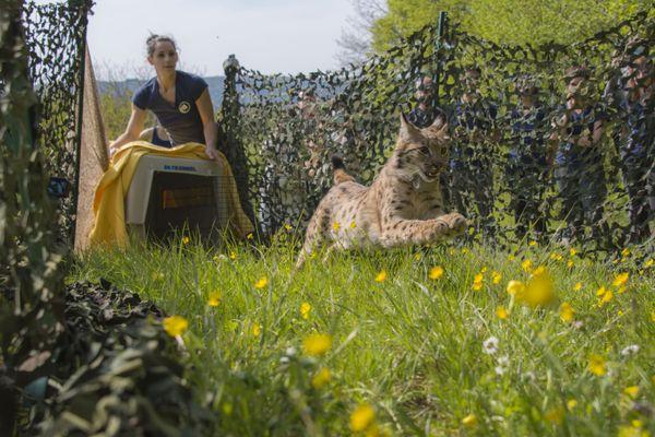 Ouhna, jeune lynx relâchée par le centre Athénas