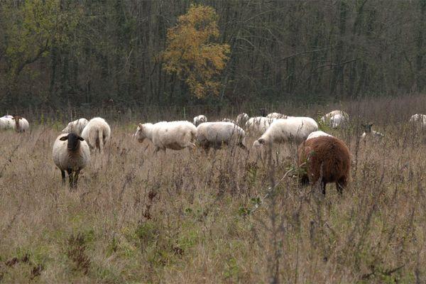 Troupeau de mouton.