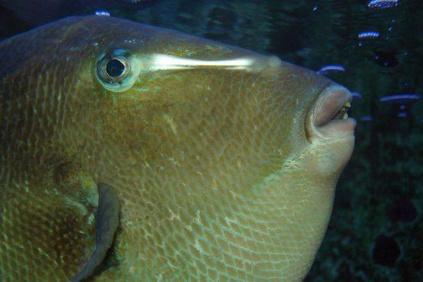 Doté d'une mâchoire redoutable, le Baliste -poisson installé en Méditerranée depuis longtemps- est capable de blesser des baigneurs au sang.