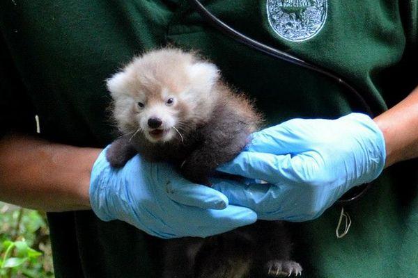 Le bébé panda ne pèse pas plus 500g à la naissance.