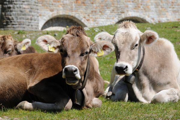 Un projet de recherche français ambitionne de réduire de 15 à 30 % les émissions de méthane que rejettent les vaches en abondance dans l'atmosphère pour lutter contre le réchauffement climatique