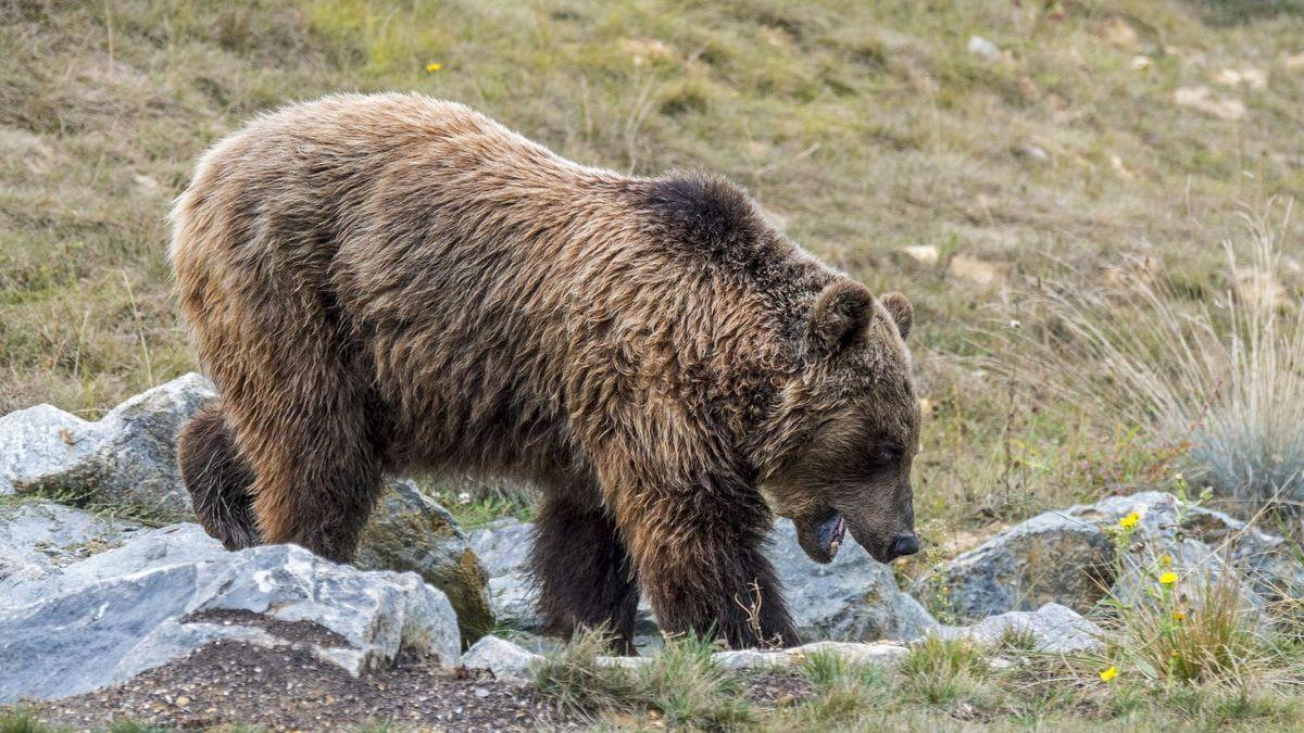 rencontre avec un ours brun)