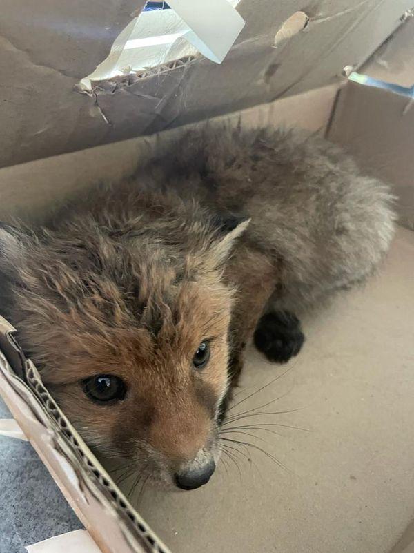 Johann a placé le petit renardeau dans un carton pour le transporter chez le vétérinaire