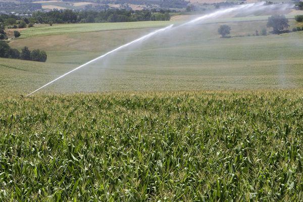 En floraison en été, le maïs a besoin de beaucoup d'eau, surtout pendant la canicule. Photo d'illustration.