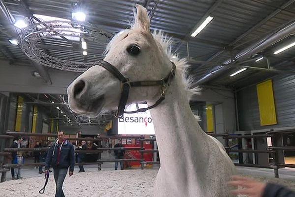 Le salon du cheval de Besançon permet aux acheteurs de s'approprier certaines espèces.