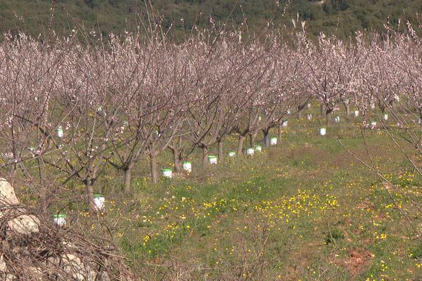 Des abricotiers en fleurs ... Christel Cesana a déposé au pied des arbres des bougies anti-gel - mars 2021